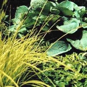 Hosta-Gras.jpg